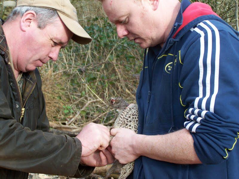 Pheasant release 2012